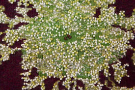 "Barbara Hitzemann, ""Queen Anne's Lace,"" detail."